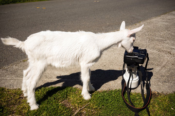 Newborn Animal Albino Goat Explores Camera Long Zoom Lens