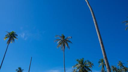 Coconut trees on blue sky.