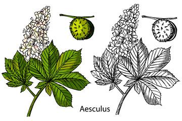 Aesculus. Buckeye. Horse chestnut. Chestnut. Medical plant