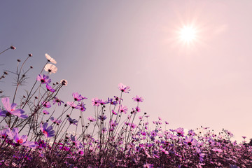 Wall Mural - Purple tone of cosmos flower field in sunshine. Sweet and love background concept