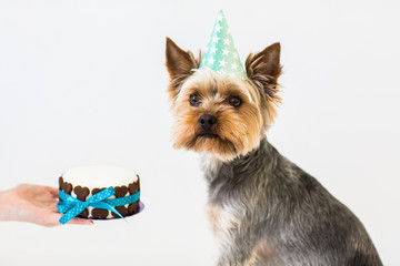 york dog eats a small birthday cake