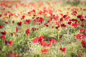 Red flowers in a meadow blurred during the Darom Adom (Red South) festival in the Negev desert in the springtime. Flower field