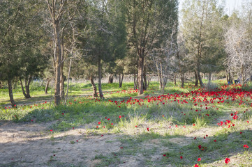 Picturesque forest edge with red anemone flower carpet in the Negev desert.