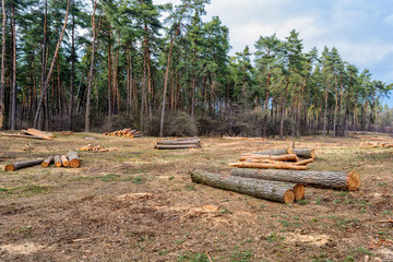 Cutting of trees. timber harvesting