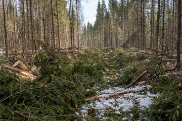 Image of coniferous forest after felling