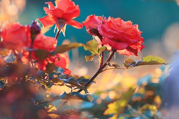 Spring blooming rose