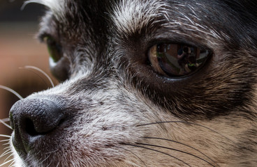 Nose of dog, my lovely chihuahua.