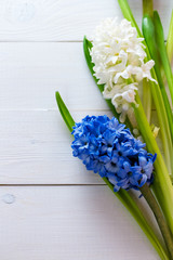 Fresh pink, blue and white  flowers hyacinths in ray of light on white painted wooden background. Selective focus. Place for text.
