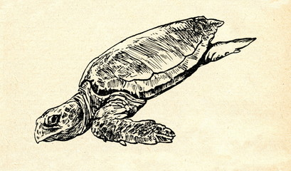 Loggerhead sea turtle (Caretta caretta)