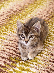 Wall Mural - Kitten on textile background
