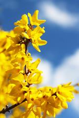 Forsythia, Forsythien, Frühjahr, Frühling - Gelb blühende Forsythie