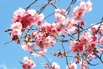 Hanami - Kirschblüte, Zierkirsche blüht mit rosa Blüten im Frühling
