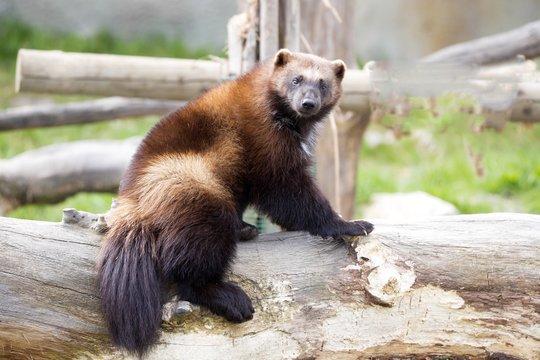 Wolverine, Gulo gulo, a huge beast
