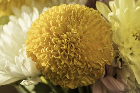 Yellow Mum / macro of a yellow mum in a bouquet