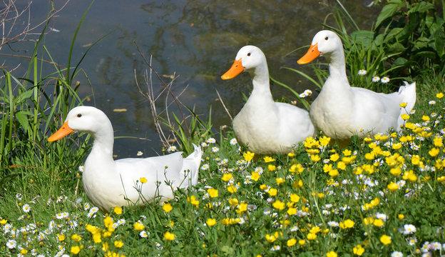 three white ducks in springtime