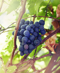 Fototapete - Ripening grapes on the vine, vineyard, natural summer background