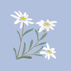 Edelweiss. Flowers and leaves.