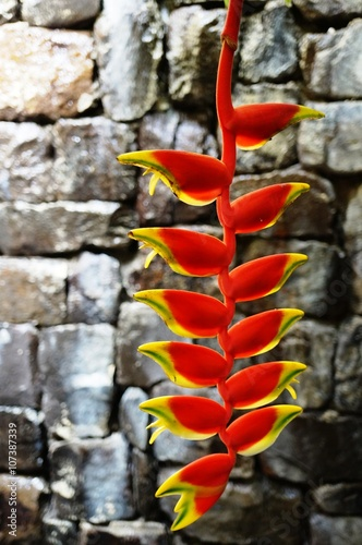 Red And Yellow Hanging Flowers Of The Heliconia Rostrata Plant