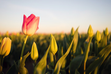 Solo Pink Tulip Bends Opening First Agricultural Flower Farm