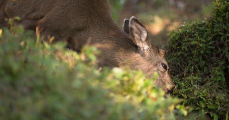 Solitary Deer North American Animal Wildlife Eating Brush Berries