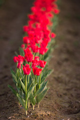 Red Tulips Bend Towards Sunlight Floral Agriculture Flowers