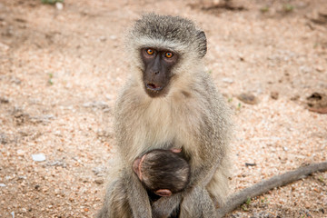Vervet monkey with baby in the Kruger National Park, South Africa.