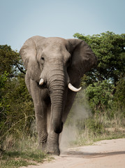 Elephant walking towards the camera in the Kruger National Park, South Africa.
