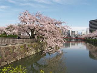 Cherry blossoms at Odawara Castle Park, Odawara city