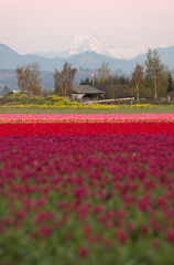 North Cascade Mountain Multi Color Skagit Valley Tulip Flowers