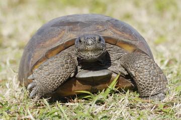 Endangered Gopher Tortoise - Florida