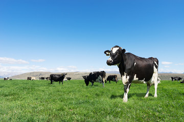 pasture with animals in summer day in new zealand Wall mural
