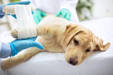 Sad labrator with broken leg