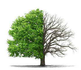 The concept of the dead and the living tree on a white backgroun