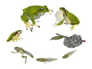 Life cycle of European tree frog