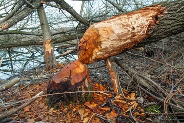 deforestation. broken, fallen tree of beaver in the forest