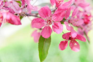 dark pink blooming flowers. spring background