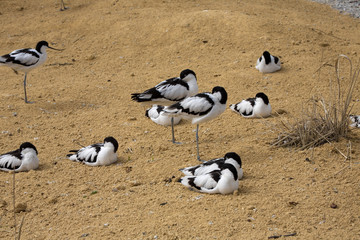 Pied Avocet, Recurvirostra avosetta, living in flocks