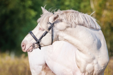 Wall Mural - Portrait of beautiful albino horse with blue eyes