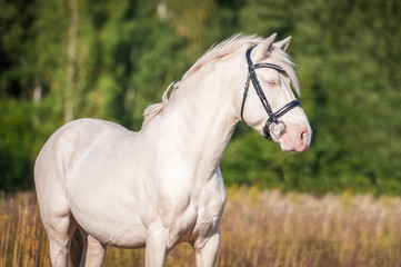 Portrait of beautiful albino horse with blue eyes