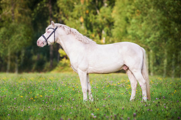 Wall Mural - Beautiful albino horse with blue eyes standing on the pasture in summer