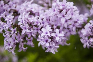 Morning Dews on Violet Flowers