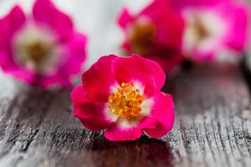 Pinke Strauchrosen (Rosa), Strauchrose, pink, kleinblütig, klei