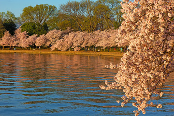 Cherry blossom peak around Tidal Basin in Washington DC, USA. US capital during cherry blossom festival on a spring morning.