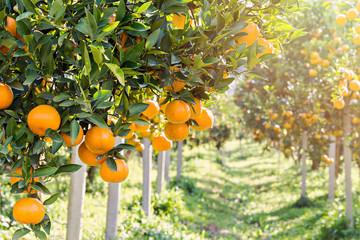 Ripe and fresh oranges hanging on branch, orange orchard Fotoväggar