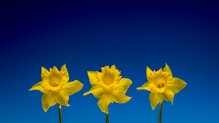 Three daffodils isolated against a blue background
