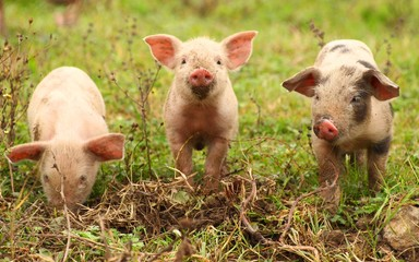 Piglets on farm