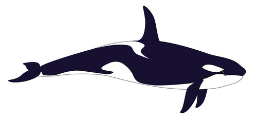 Killer whale. Realistic grampus on a white background.