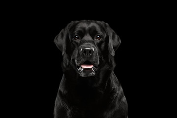 Closeup Portrait black Labrador Dog, Alert Looking, Front view,  Isolated