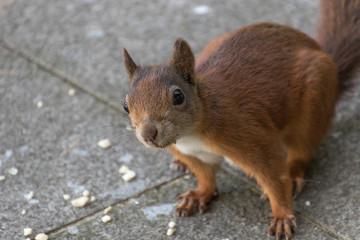 rotes Eichhörnchen schaut in die Kamera