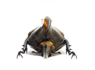 ペルー産ヘラクレオオカブト♂亜種リッキー